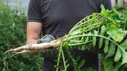 「タダでとり放題」デマが広がり...農家の畑から500トンのダイコンが消えた。