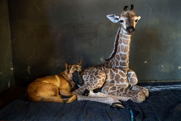 Hunter, a young Belgian Malinois, keeps an eye on Jazz, a nine-day-old giraffe at the Rhino orphanage in the Limpopo province