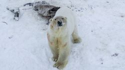 Polar Bear Threat 'Becoming The Norm' As 50+ Assemble Near Russian