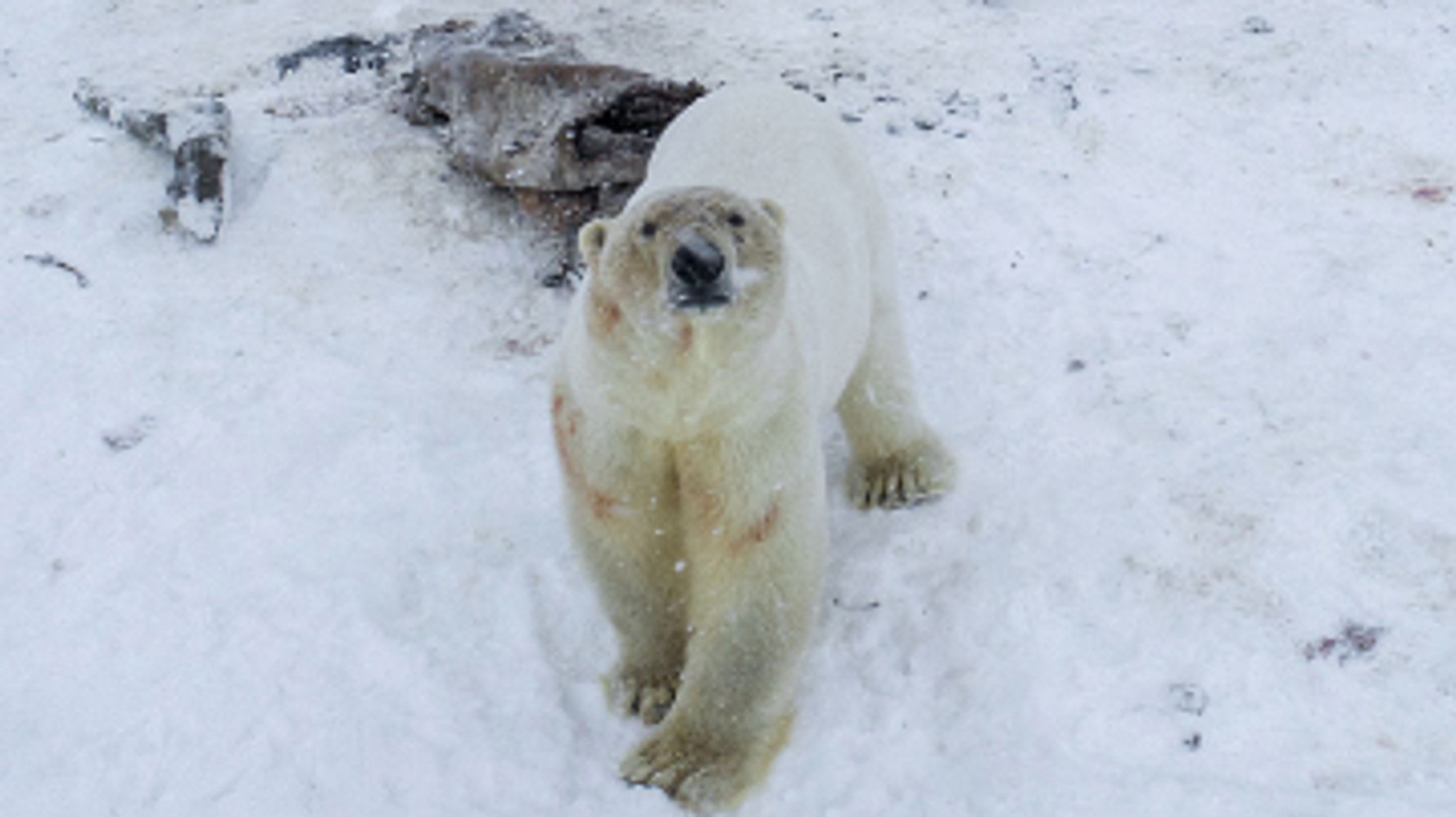 Polar Bear Threat 'Becoming The Norm' As 50+ Assemble Near Russian Village