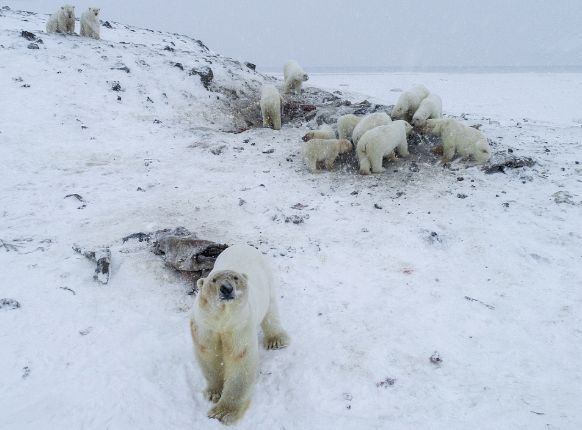 Some of the polar bears gathered near Ryrkaypiy.