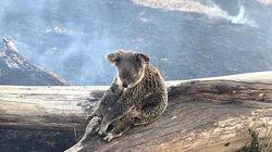 호주 산불로 코알라 2000마리가 죽었을지도