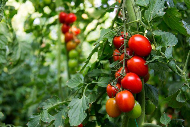 Έρευνα: Τα φυτά «ουρλιάζουν» όταν αντιμετωπίζουν έντονο