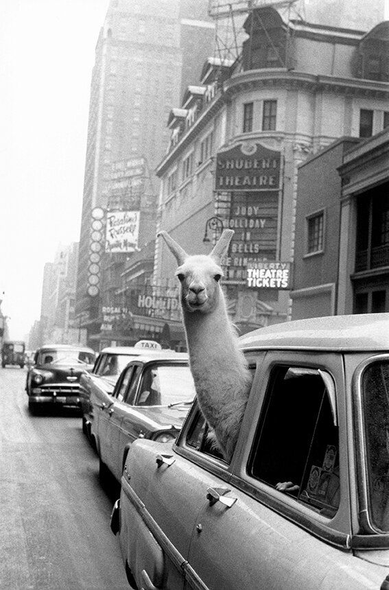 USA. New York City. 1957. A Llama in Times