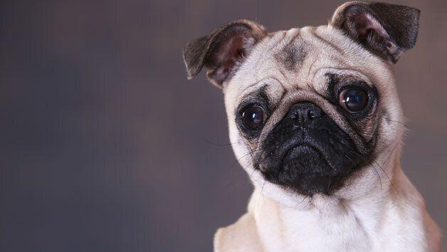 Pet Portrait Photoshoot, Red Letter Days, £20