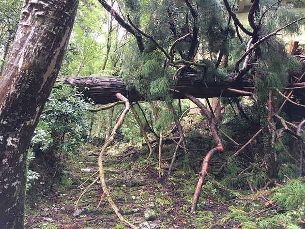 巨木が倒れ、境内は大きな被害を受けた=高山寺提供