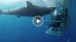 Immersione da incubo. Lo squalo resta incastrato nella gabbia dei sub per 25 minuti