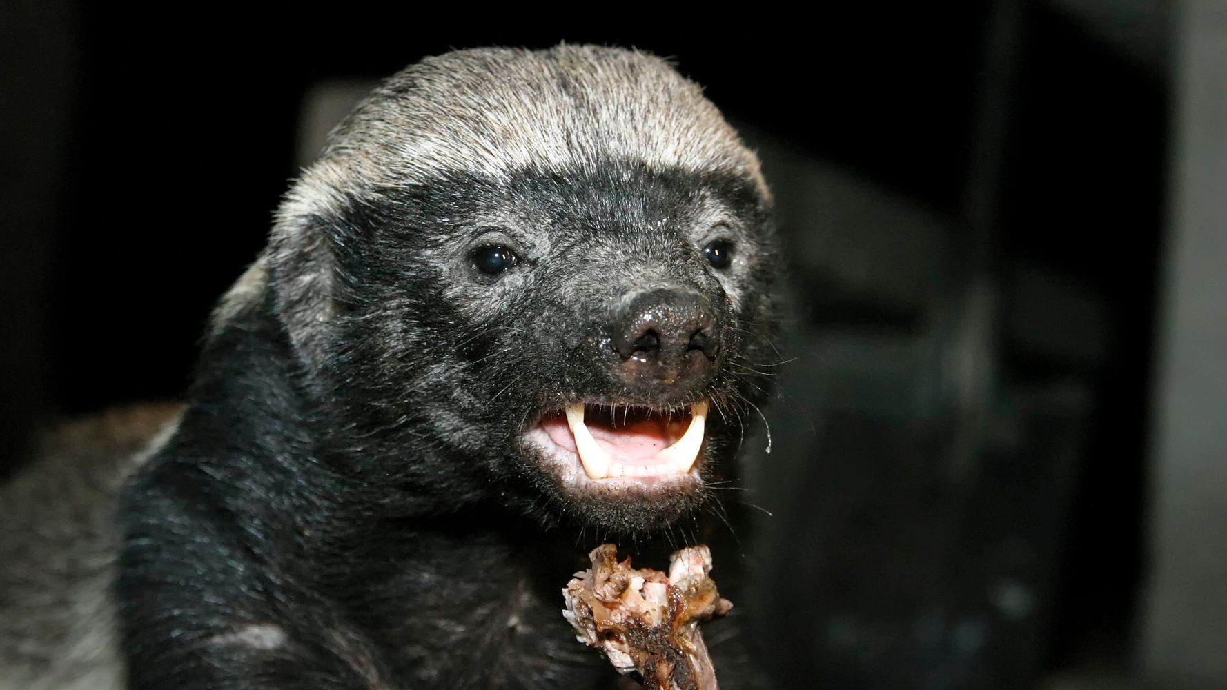 You'll Have Mad Respect For Honey Badger After Epic Fight Against Python, Jackals