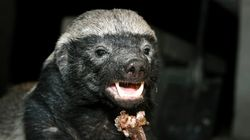 You'll Have Mad Respect For Honey Badger After Epic Fight Against Python,