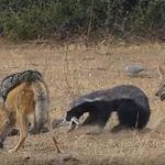 Η μάχη των ειδών: Αφρικανικός ασβός εναντίον πύθωνα και δύο