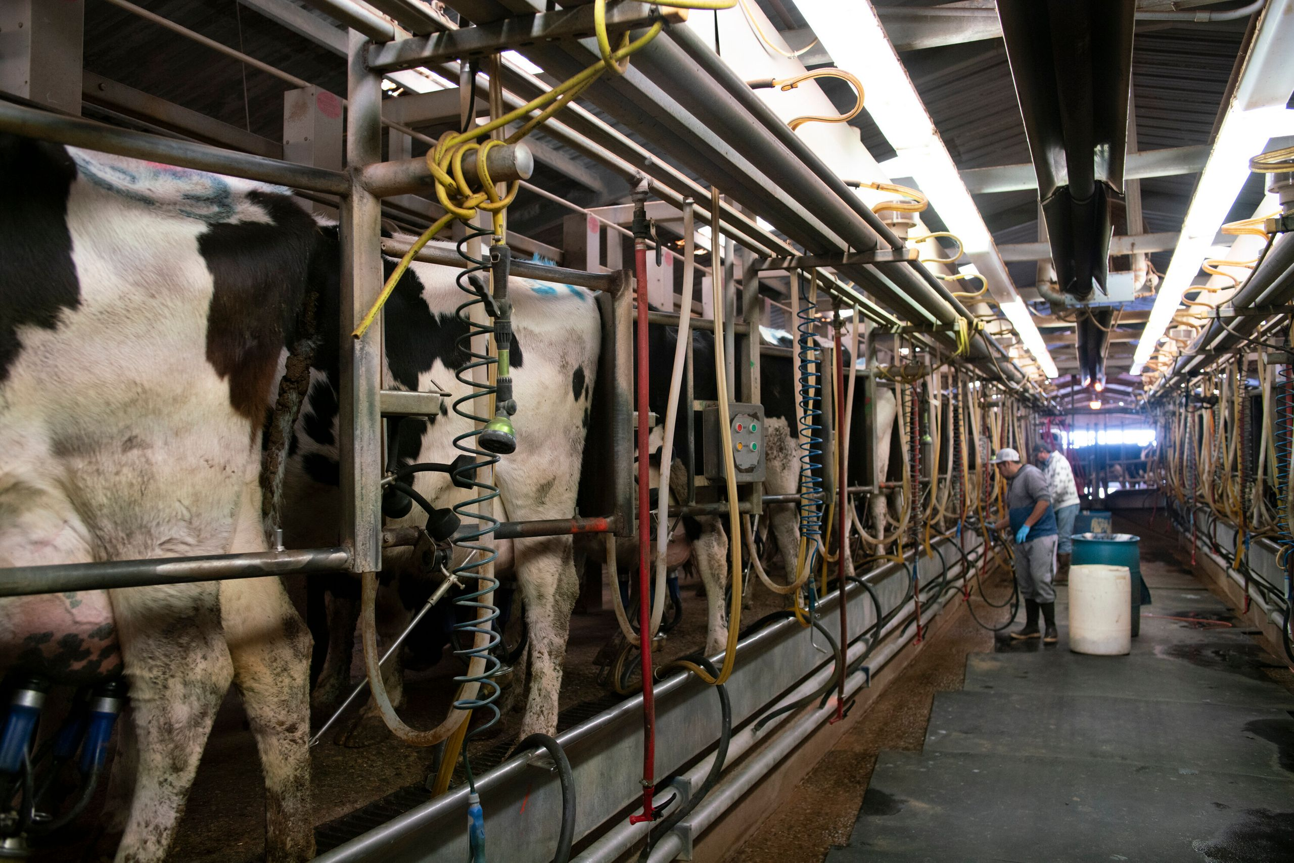 The milking facility at Art Schaap's dairy farm in Clovis, New Mexico.