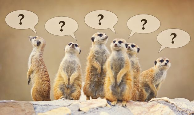 Group of watching surricatas with question