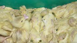 L214 épingle un producteur de foie gras médaillé d'or dans une nouvelle vidéo