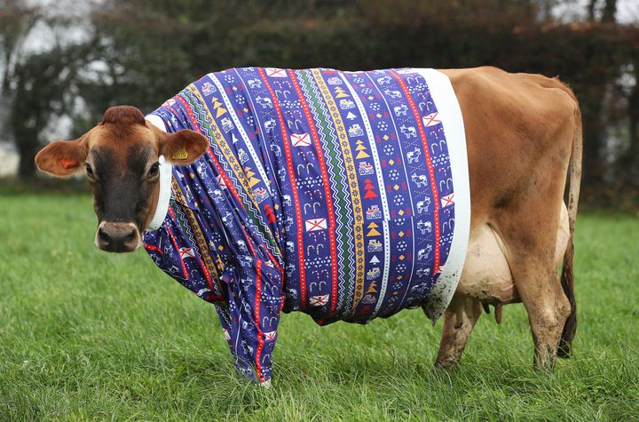 Jersey cows don Christmas jumpers.