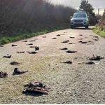 Μυστήριο στην Ουαλία: Γιατί εκατοντάδες πουλιά βρέθηκαν νεκρά στο