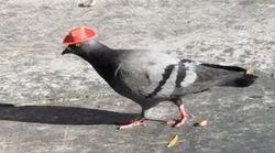 Γιατί πουλιά κυκλοφορούν με καπέλα στους δρόμους του Λας