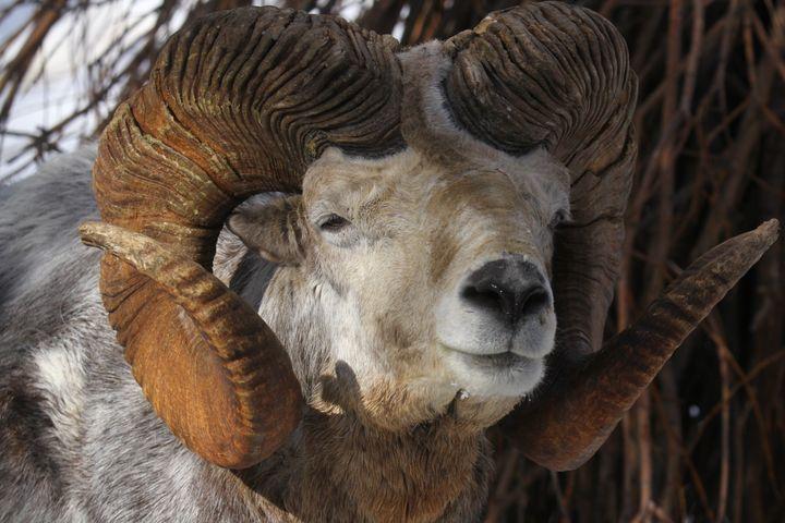 A portrait of an argali sheep.