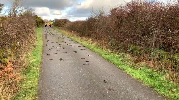 A total of 225 birds were found near Llyn Llywenan in