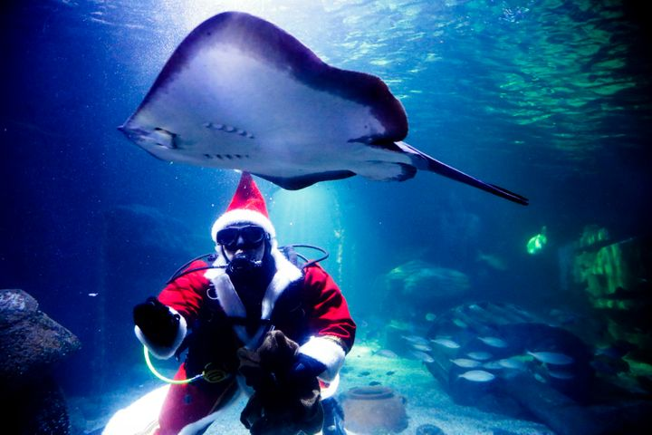 Diver dressed as a Santa Claus feeds a fish during amedia event at the Seal Life aquarium in Berlin, Thursday, Germany, Dec.