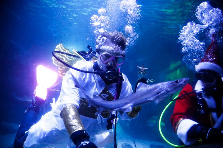 Diver dressed as an angel and as a Santa Claus feed a fish during a Christmas event at the Seal Life aquarium in Berlin, Thur