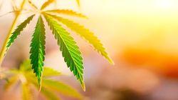 Via libera alla vendita di cannabis light se il Thc è sotto il 5%: approvato l'emendamento