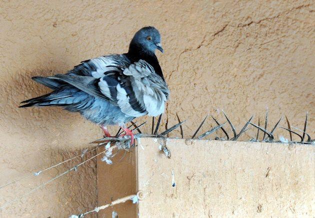 비둘기가 둥지를 틀지 못하도록 도시 전철의 교각 위를 쇠꼬챙이로 차단했다. 그러나 비둘기는 사라지지 않는다. 도시 환경을 반영하는 거울 구실을 하는 비둘기와 공존할 방법을 찾아야