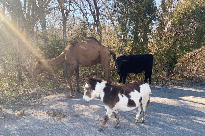 This Nov. 17, 2019 photo provided by the Goddard Police Department shows a camel, donkey and a cow found roaming together alo