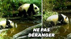 Les (très) rares images d'un panda sauvage et son petit en pleine