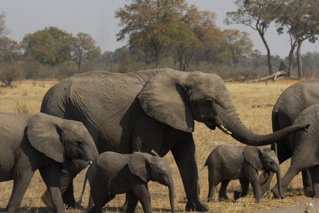 Botswana Bans Two Hunters Who Killed Elephant And Tried To Destroy Evidence