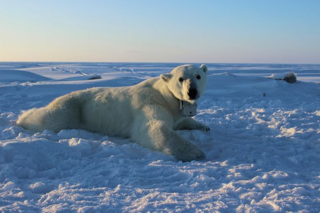 A polar bear wearing a GPS video-camera collar lies on a chunk of sea ice in the Beaufort Sea.