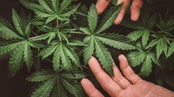Cannabis Sativa, di stupefacente c'è solo