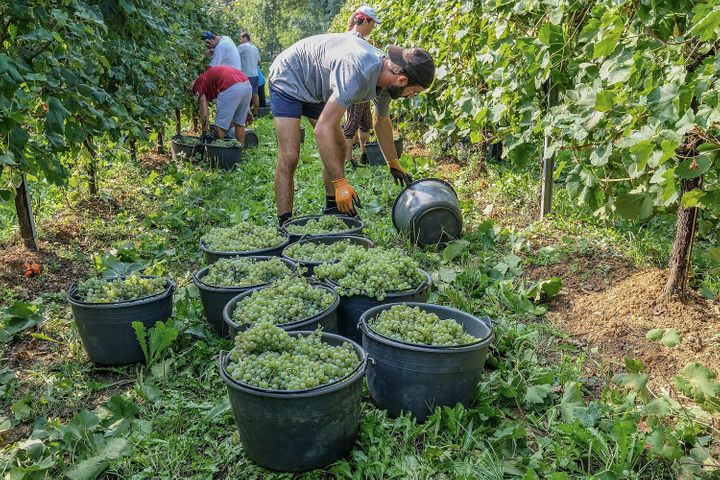 Workers harvest grapes for prosecco in a vineyard in Treviso, Italy.