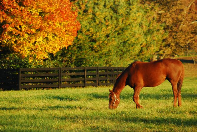 A horse grazes at a ranch in KKentucky;s horse country during