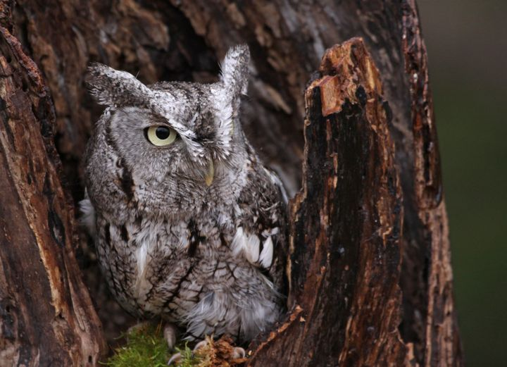 A close-up of an Eastern screech owl (not the one who visited the Newman family) sitting in a stump.