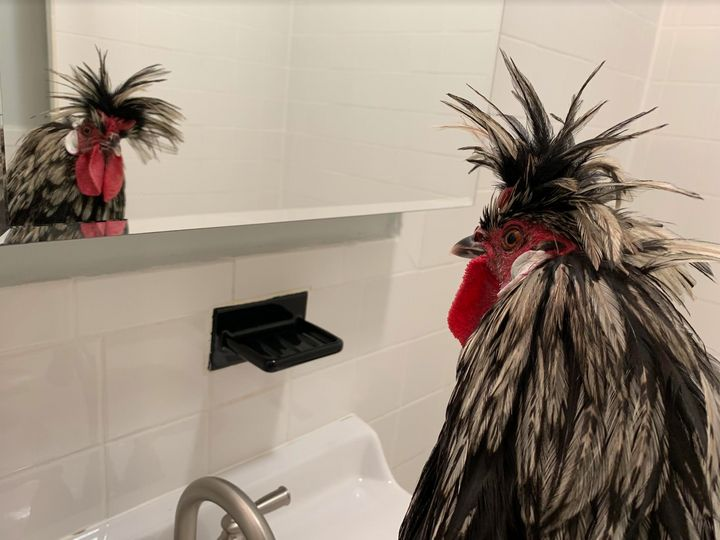 The newly named Elizabeth Warr-hen checks his fine self out in the bathroom mirror at his rescuer's home.