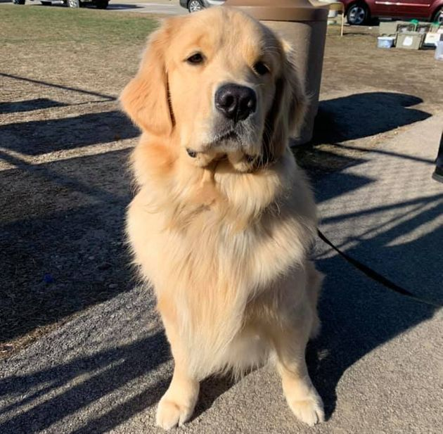 Authorities were able to collar the suspect, a therapy golden retriever named
