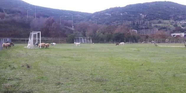 Πρόβατα έφαγαν χλοοτάπητα γηπέδου αξίας 150.000 ευρώ στην
