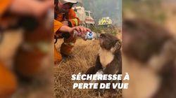 Ces pompiers ont désaltéré un koala assoiffé au milieu des feux en