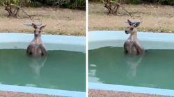 Vídeo mostra canguru se refrescando em piscina após fugir de incêndio florestal na