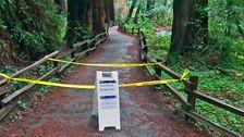Wanderer Getötet Durch einen Sturz von Riesigen Redwood In Kalifornien, Muir Woods