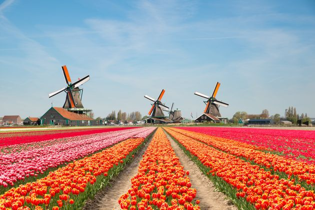 Landscape of Netherlands bouquet of tulips and windmills in the
