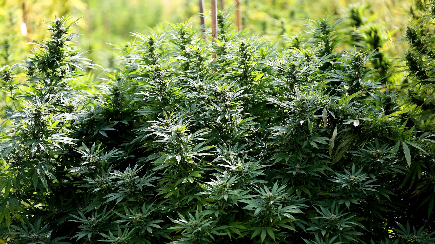 Growing Small Amounts Of Cannabis At Home Not Illegal, Italy's Supreme Court Rules