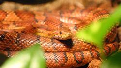 Sfrattato dal proprietario lascia nell'appartamento due serpenti per