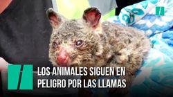 Cientos de australianos se juegan la vida para salvar a los animales afectados por los