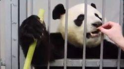 30 millions d'amis s'insurge contre ces images d'un panda