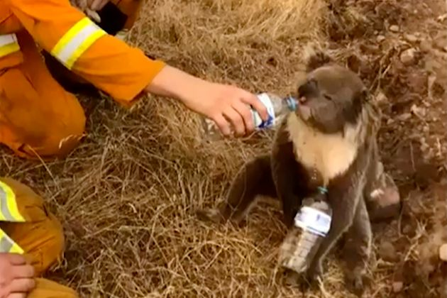 A koala drinks water from a bottle offered by a firefighter in Cudlee Creek, South