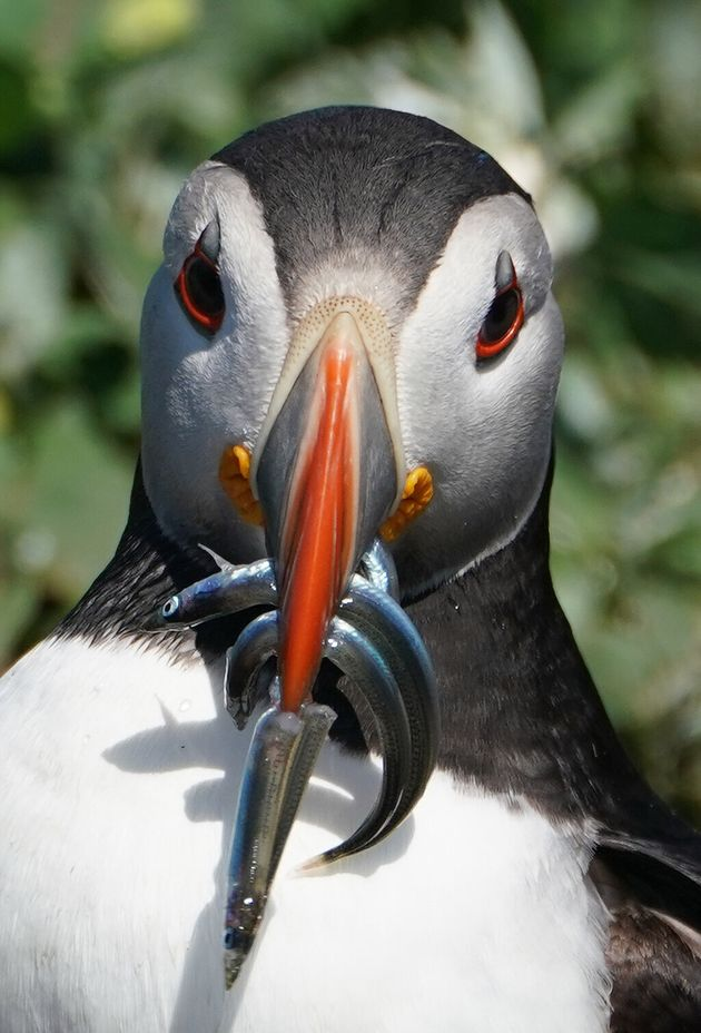 A puffin on the Farne Islands holds fish in its beak. Breeding Arctic terns, puffins, guillemots and...