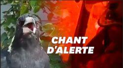 Depuis les incendies, cet oiseau australien imite les sirènes des