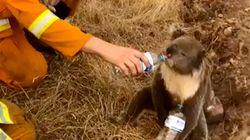 En Australie, un demi-milliard d'animaux sont menacés de mort dans les
