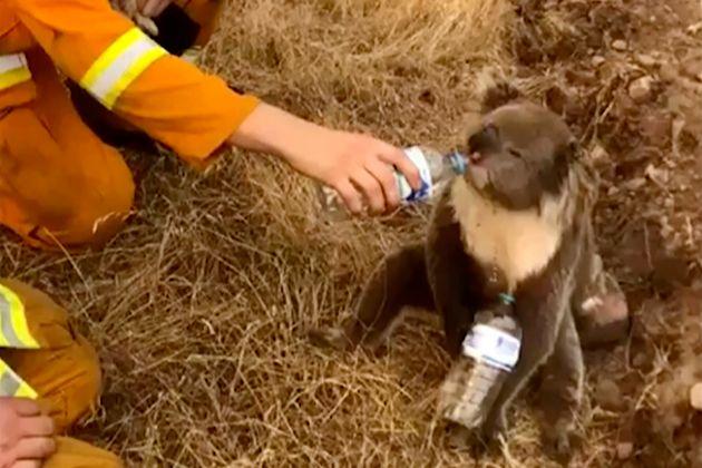 Une image tirée d'une vidéo prise le 22 décembre 2019, montrant un koala boire de...